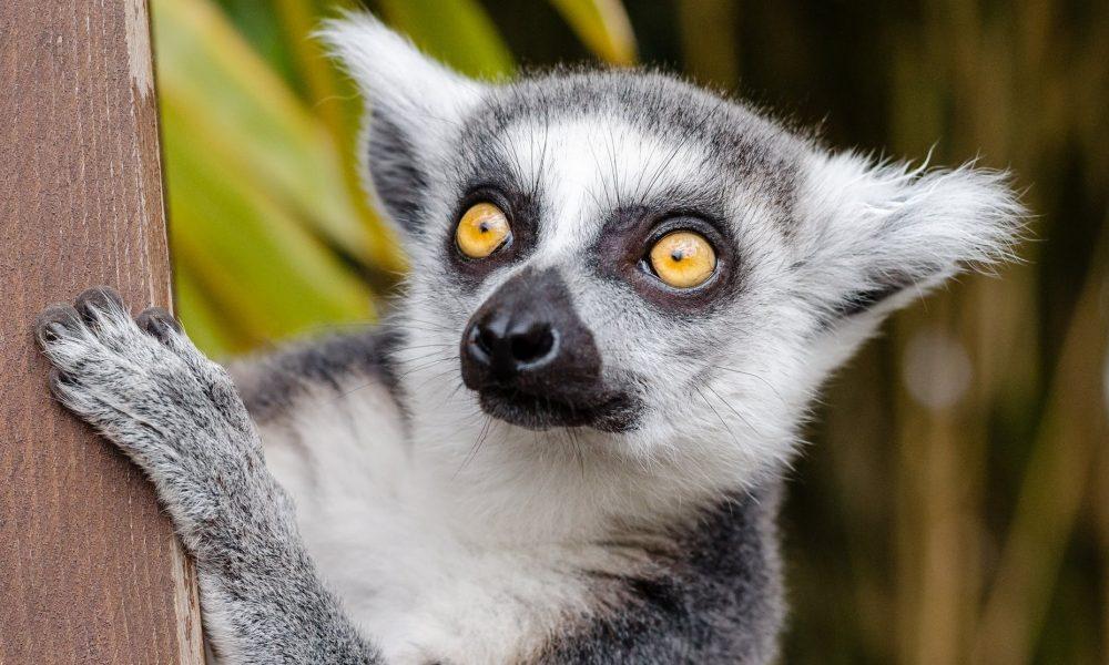 lemur-ring-tailed-lemur-primate-mammal